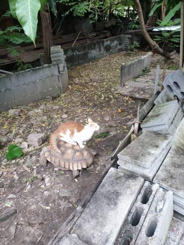 Кот катается на черепахе