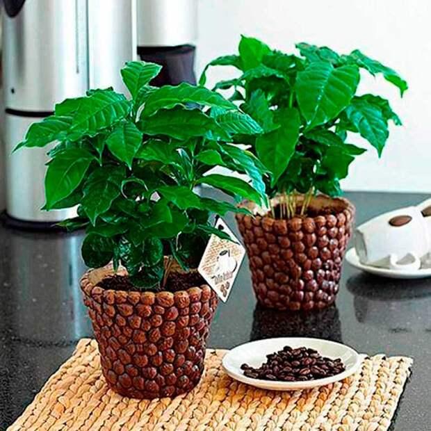 Комнатное растение Кофе (Coffea)