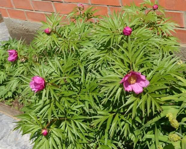Семена видовых пионов