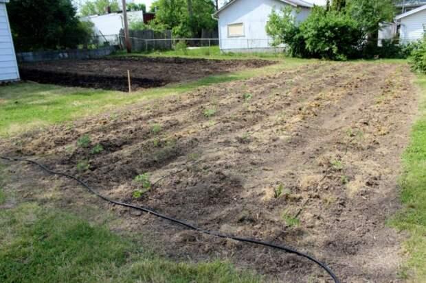 На узких грядах легко организовать капельный полив