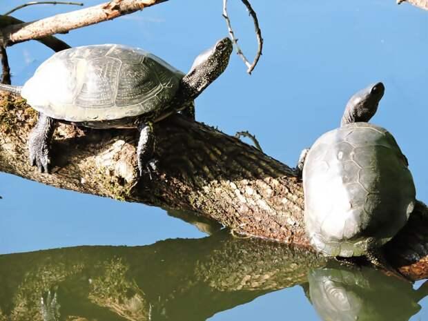 Болотные черепахи облюбовали пруды в Выхине-Жулебине