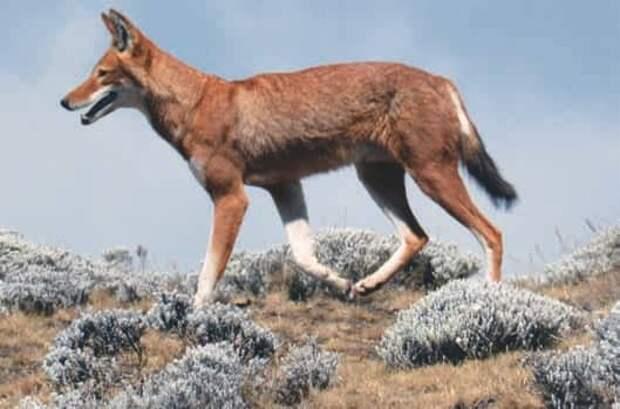 Эфиопский волк (Canis simensis)