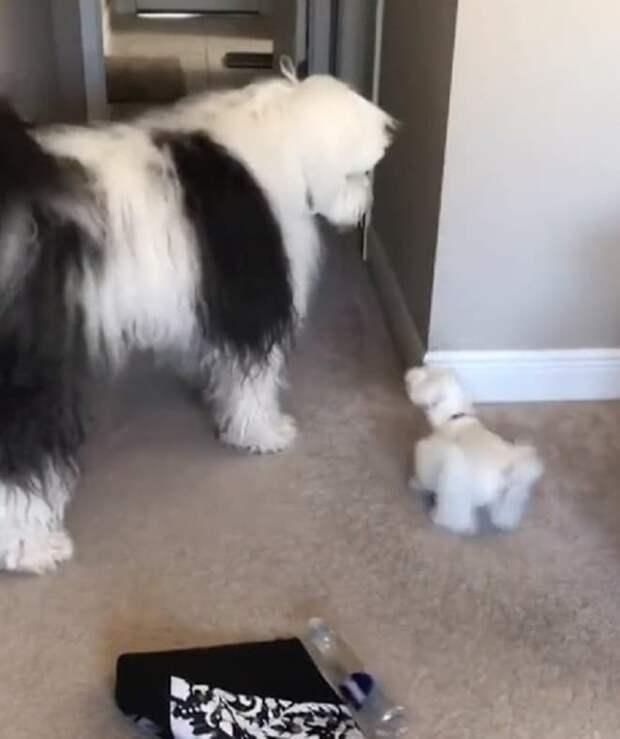 Огромный пес дарит всем добро, а потому ему доверяют и маленьких детей, и крохотных собачек