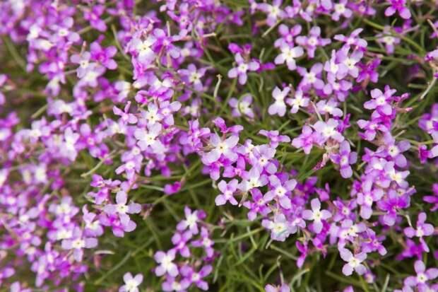 flowering matthiola bolleana, canarian wallflower