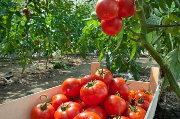 как выращивать томаты: Органические фермы, экофермы, городские фермы,