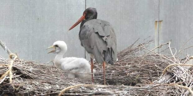 Птенцы редкого черного аиста вылупились в Московском зоопарке