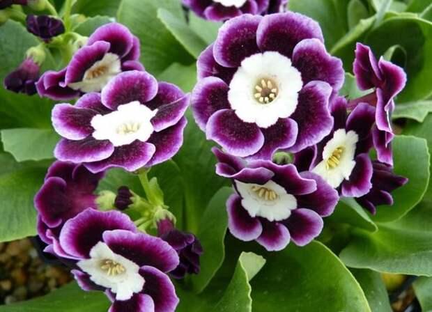 Примула из Alpine категории, фото сайта www.barnhaven.com