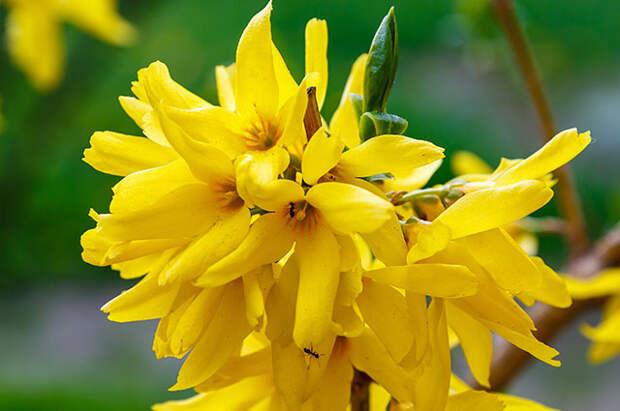 Цветки у форзиции колокольчатые.  Сорт Спринг Глори