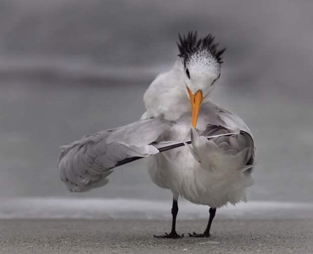 Крачка чистит перья.