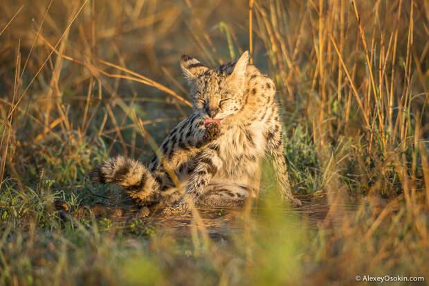 Уникальная дикая кошка-меланист