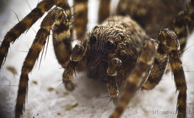 Почему яд пауков-самцов стал смертельным для человека?