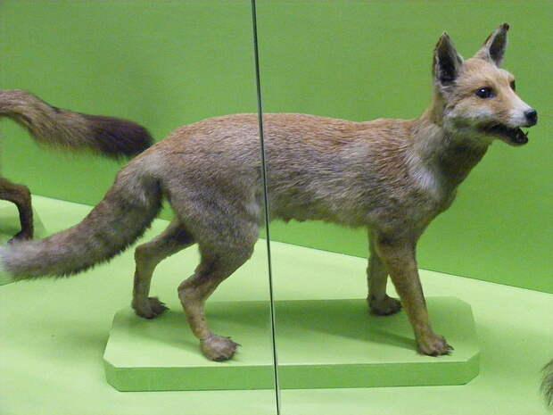 Египетский подвид обыкновенной лисицы (Vulpes vulpes niloticus)