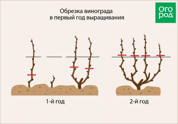 Обрезка винограда в первый год