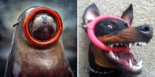 11.  животные, собака, сходство, тюлень
