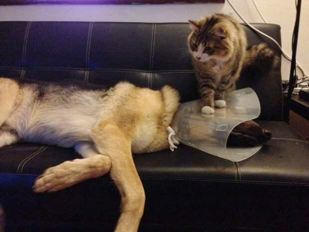 Излюбленный приём практически всех котиков — унижение других домашних животных. кот, котики, прикол, юмор