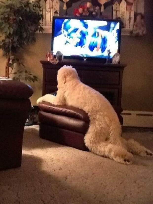 Смотрят телевизор домашний питомец, животные, подборка, прикол, собака, юмор