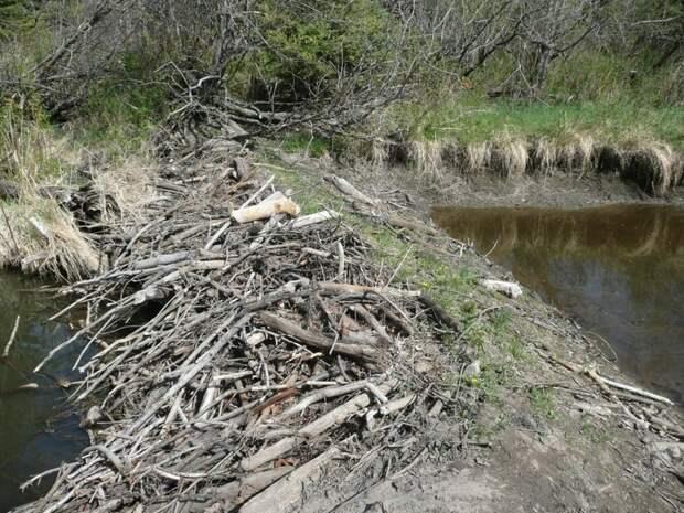 Где находится самая длинная бобровая плотина в мире