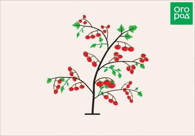 Формировка ветки томата детерминантного сорта