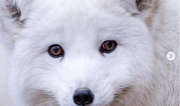 Ростовский зоопарк продемонстрировал, как выглядит настоящий зимний песец