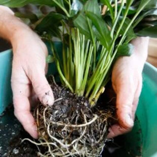 Промываем корни пересаживаемого растения
