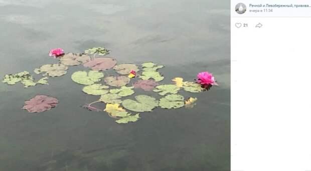 Фото дня: розовые кувшинки на Фестивальных прудах