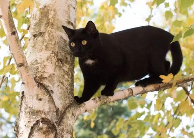 Кошак на осине