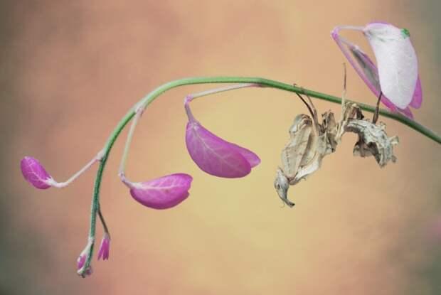 богомол Чертов цветок