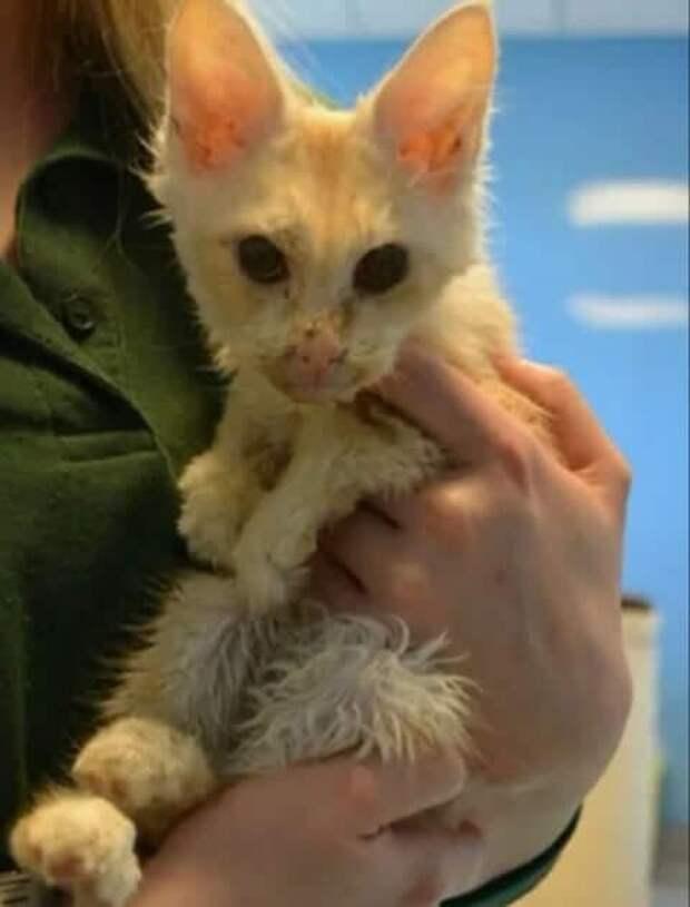 Котёнок породы мейнкун не был похож на себя, но всё изменилось, когда я его принесла домой