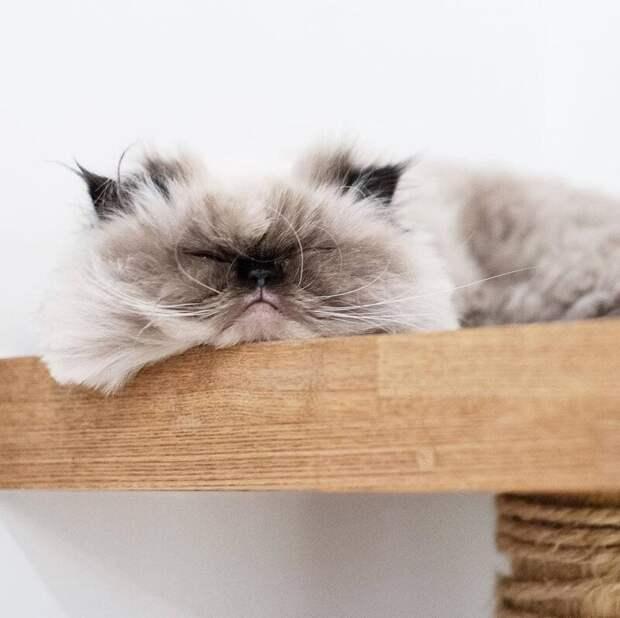 Это Нон, гималайский котик, и у него есть одна яркая особенность животные, кот, милота, мимика, морда, ненависть