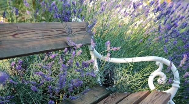 Садовая скамейка в зарослях лаванды