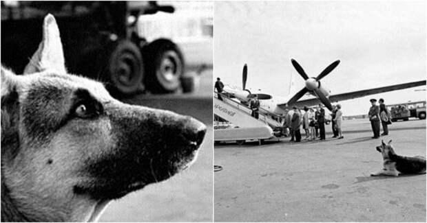 Овчарка два года ждала хозяина в аэропорту