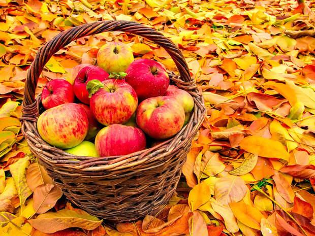 Уход за яблоней осенью – советы по правильной подготовке дерева к зиме