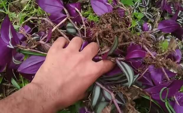 Способ посадки вьющихся и ампельных цветов