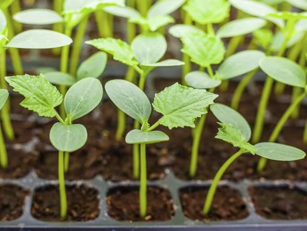Как самому вырастить хорошую огуречную рассаду?