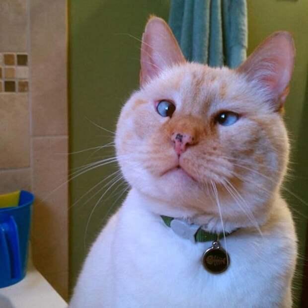 """Милейшие коты с глазками """"вразбег"""", чей изъян делает их уникальными котики, коты, милота., фото"""