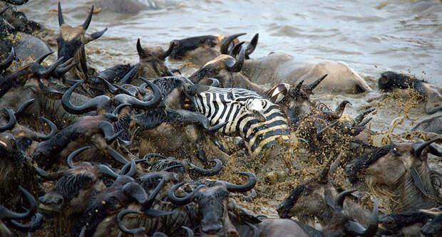 Храбрые зебры против тысяч антилоп