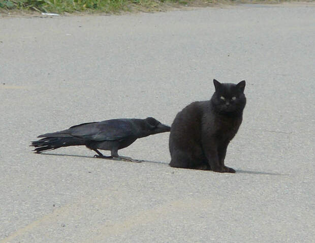 crows-tease-animals-peck-bite-tails-trolls-corvids-2