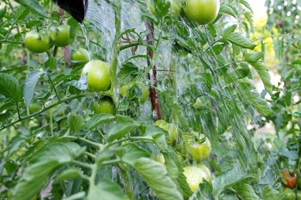 почему чернеют верхушки помидор