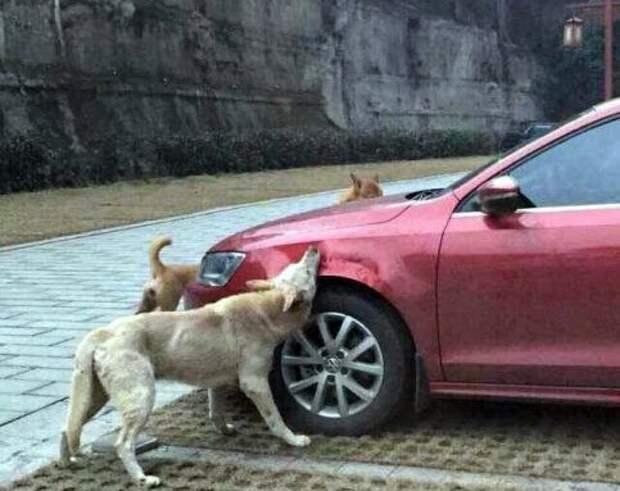 Собаки-вандалы изувечили Volkswagen Jetta