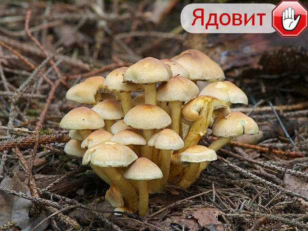 Опята осенние гриб, грибы