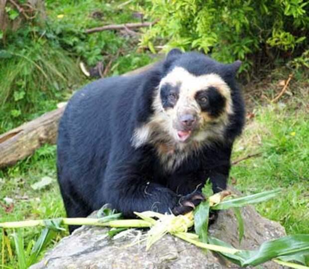 http://www.tepid.ru/images/spectacled-bear4.jpg