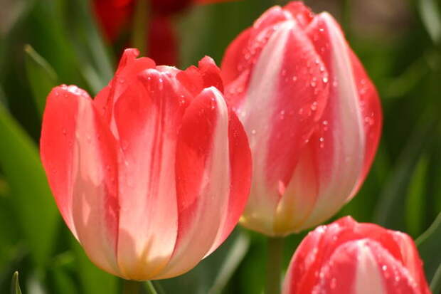 Тюльпан сорт Пламенный