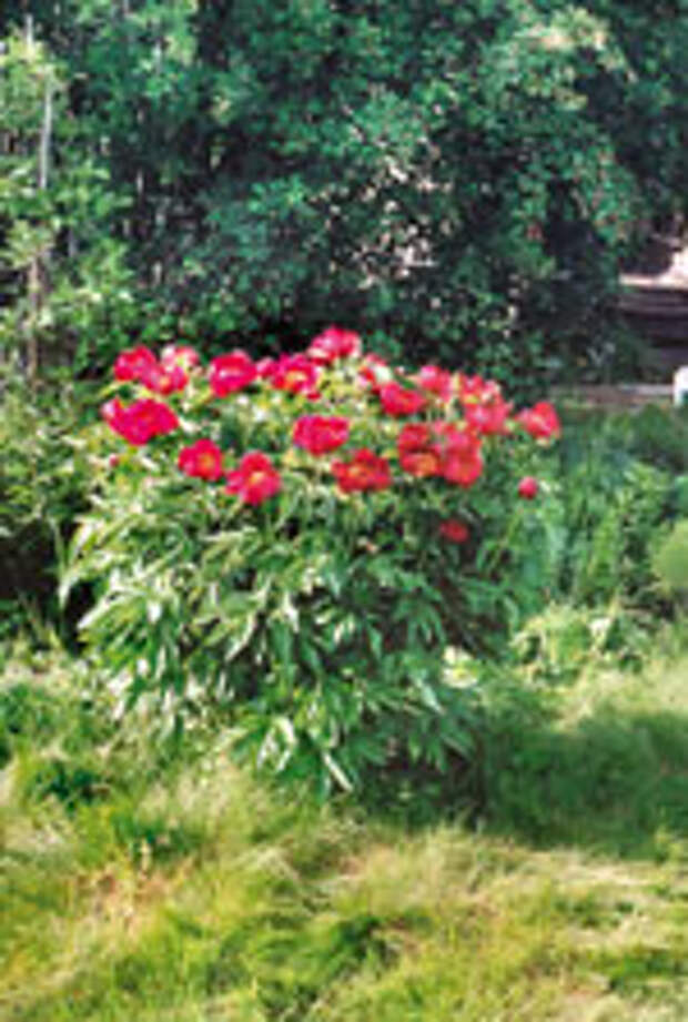 Сад, цветник и огород.  Почему не цветут пионы?