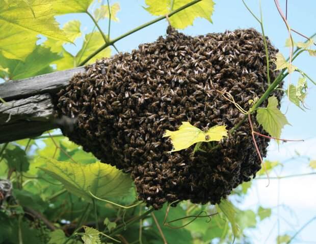 Главное отличие африканских пчел при атаке в том, что в воздух, в случае опасности, поднимается больше защитников и им всем все равно, что они погибнут после укуса. инсектофобия, интересное, много, насекомые, природа, рой, скопление