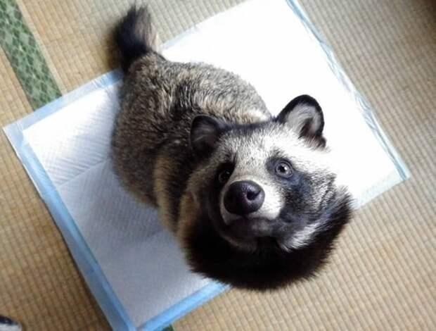Хозяин зверька, пользователь chibi_tori, рассказал, что зовет этот пушистый комок просто Тануки или сокращенно Тану енотовидная собака, животные, тануки
