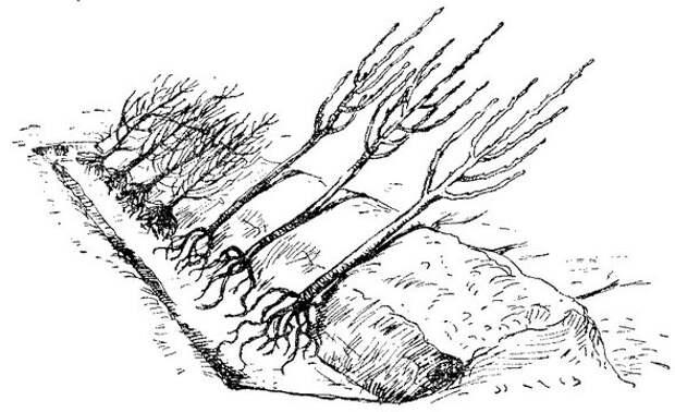 Два прикопа, два притопа: как сохранить саженцы до весны