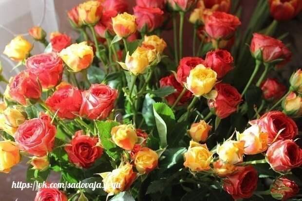 3 основных этапа по уходу за розами летом