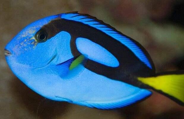 10. Хирурговые — как правило, достаточно небольшие лучепёрые рыбы, обитающие в тропических водах, хотя встречаются виды, вырастающие до метровой длины. Их хвостовые плавники настолько остры, что о них можно легко порезаться. Плавание на террито Опасно для жизни, морская фауна, рыбалка, рыбы
