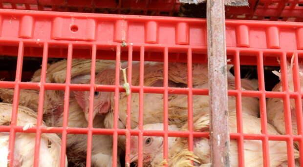 Частично приостановившая работу «Коченевская птицефабрика» выплатит 15 млн по иску производителей кормов