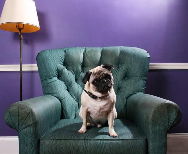 11 пород собак, которые отлично подходят для содержания в квартире
